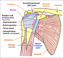 220px-Shoulder_joint.svg