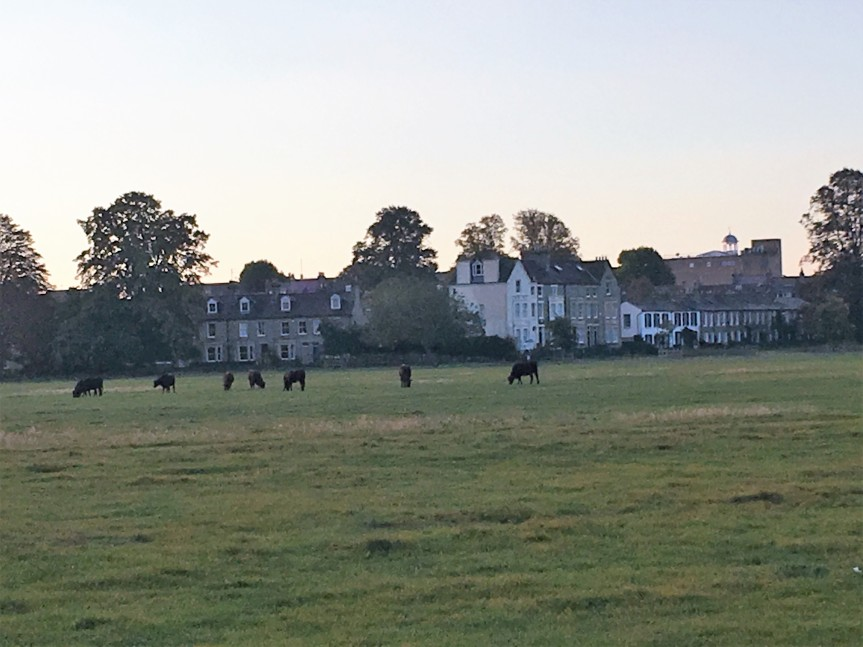 cambridge cows
